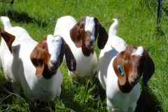 Traditional Boer goats at Kalopi ranch