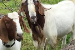 Buck and doe at Kalopi Ranch
