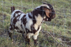 Speckled Boer goat at Kalopi Ranch
