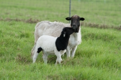 Aged ewes still raise great lambs, this is one of her twins.
