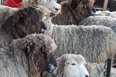 Romney sheep waiting to be sheared