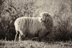 Ewe in full fleece