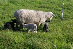 Ewe with triplets