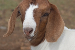 A Kalopi Ranch Boer goat kid