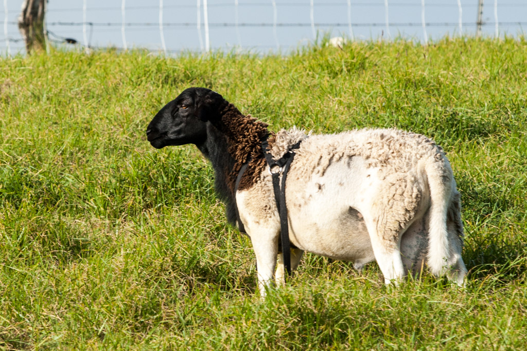 Thick meaty ram is typical of the Dorper breed