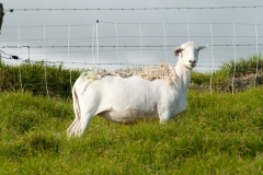 A crossbred dorper ewe can be all white, mostly black, or speckled.