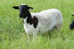 8 month old ewe lamb