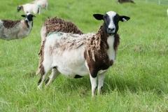 An example of 1/2 dorper breeding