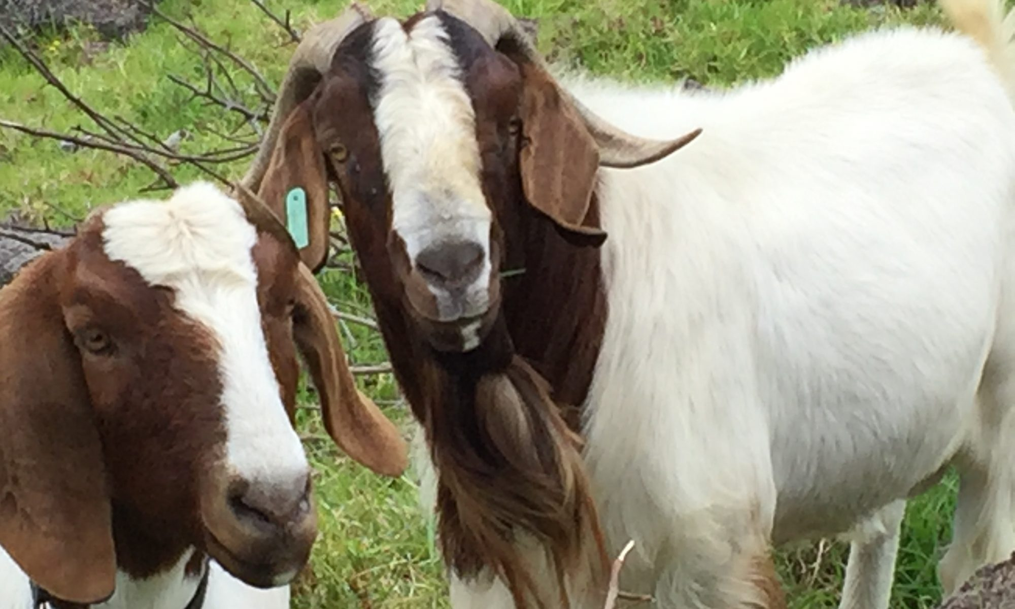 Hawaii Sheep and Goat Association